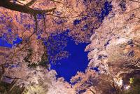 高遠城址公園 桜のライトアップ