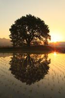 水田に映る王仁塚の桜と朝日