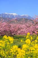 新府桃源郷 桃の花と菜の花に南アルプス