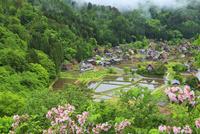 初夏の白川郷 城山展望台より望む合掌集落