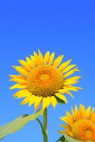 沖ノ原台地 ヒマワリの花と青空 11076021996| 写真素材・ストックフォト・画像・イラスト素材|アマナイメージズ