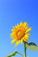 沖ノ原台地 ヒマワリの花と青空