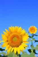 沖ノ原台地 ヒマワリの花と青空 11076021999| 写真素材・ストックフォト・画像・イラスト素材|アマナイメージズ