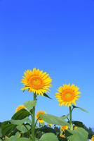 沖ノ原台地 ヒマワリの花と青空 11076022000| 写真素材・ストックフォト・画像・イラスト素材|アマナイメージズ