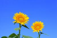 沖ノ原台地 ヒマワリの花と青空 11076022002| 写真素材・ストックフォト・画像・イラスト素材|アマナイメージズ