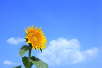 沖ノ原台地 ヒマワリの花と入道雲