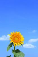 沖ノ原台地 ヒマワりの花と青空