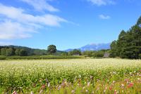 開田高原 ソバの花と御嶽山