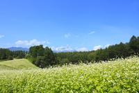 中山高原 ソバの花と北アルプス