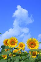 ヒマワリの花と入道雲 11076022078| 写真素材・ストックフォト・画像・イラスト素材|アマナイメージズ