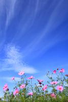 コスモスの花と青空に筋雲