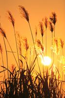 ススキと夕日 11076022106| 写真素材・ストックフォト・画像・イラスト素材|アマナイメージズ