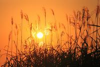 ススキと夕日 11076022107| 写真素材・ストックフォト・画像・イラスト素材|アマナイメージズ