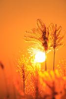 ススキと夕日 11076022113| 写真素材・ストックフォト・画像・イラスト素材|アマナイメージズ