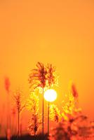 ススキと夕日 11076022115| 写真素材・ストックフォト・画像・イラスト素材|アマナイメージズ