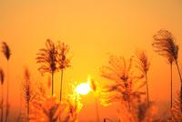 ススキと夕日 11076022116| 写真素材・ストックフォト・画像・イラスト素材|アマナイメージズ