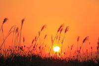 ススキと夕日 11076022117| 写真素材・ストックフォト・画像・イラスト素材|アマナイメージズ