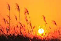 ススキと夕日 11076022118| 写真素材・ストックフォト・画像・イラスト素材|アマナイメージズ