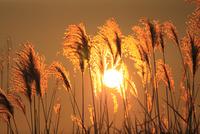 ススキと夕日 11076022125| 写真素材・ストックフォト・画像・イラスト素材|アマナイメージズ