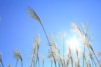 ススキと太陽 11076022136| 写真素材・ストックフォト・画像・イラスト素材|アマナイメージズ