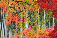 杉林とモミジ 11076022212| 写真素材・ストックフォト・画像・イラスト素材|アマナイメージズ