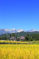 稲田の実りと集落に白馬三山