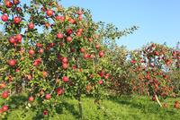 りんごの実り