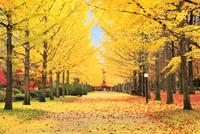 イチョウ並木道の紅葉と落ち葉