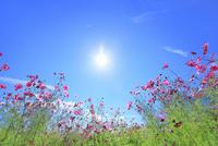 コスモスの花と太陽