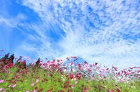 コスモスの花とうろこ雲
