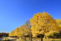 昭和記念公園 黄色紅葉のイチョウ並木