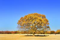 昭和記念公園 紅葉の一本ケヤキと広場 11076022489| 写真素材・ストックフォト・画像・イラスト素材|アマナイメージズ