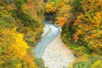 紅葉の黒部峡谷 祖母谷川