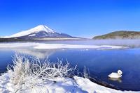 霧氷の山中湖と富士山に白鳥 11076022716| 写真素材・ストックフォト・画像・イラスト素材|アマナイメージズ