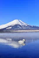 朝霧の山中湖と逆さ富士に白鳥