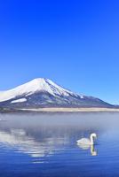 朝霧の山中湖と逆さ富士に白鳥 11076022721  写真素材・ストックフォト・画像・イラスト素材 アマナイメージズ