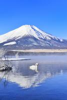 朝霧の山中湖と逆さ富士に白鳥 11076022722  写真素材・ストックフォト・画像・イラスト素材 アマナイメージズ