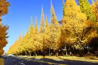 紅葉の神宮外苑イチョウ並木