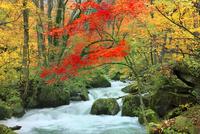 奥入瀬渓流の紅葉 11076022827| 写真素材・ストックフォト・画像・イラスト素材|アマナイメージズ