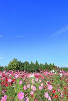 当間(あてま)高原 コスモスの花畑 11076022875| 写真素材・ストックフォト・画像・イラスト素材|アマナイメージズ