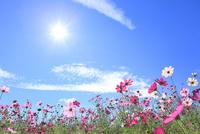 当間(あてま)高原 コスモスの花に太陽 11076022878| 写真素材・ストックフォト・画像・イラスト素材|アマナイメージズ