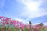 当間(あてま)高原 コスモスの花に太陽 11076022881| 写真素材・ストックフォト・画像・イラスト素材|アマナイメージズ