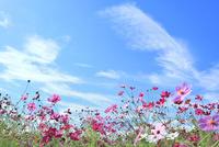 当間(あてま)高原 コスモスの花 11076022882| 写真素材・ストックフォト・画像・イラスト素材|アマナイメージズ