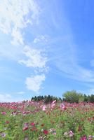 当間(あてま)高原 コスモスの花畑 11076022886| 写真素材・ストックフォト・画像・イラスト素材|アマナイメージズ