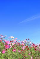当間(あてま)高原 コスモスの花 11076022887| 写真素材・ストックフォト・画像・イラスト素材|アマナイメージズ