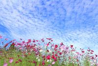 当間(あてま)高原 コスモスの花とうろこ雲 11076022891| 写真素材・ストックフォト・画像・イラスト素材|アマナイメージズ