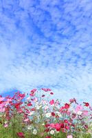 当間(あてま)高原 コスモスの花とうろこ雲 11076022892| 写真素材・ストックフォト・画像・イラスト素材|アマナイメージズ