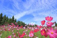 当間(あてま)高原 コスモスの花畑とうろこ雲 11076022894| 写真素材・ストックフォト・画像・イラスト素材|アマナイメージズ