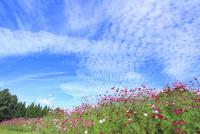 当間(あてま)高原 コスモスの花畑 11076022896| 写真素材・ストックフォト・画像・イラスト素材|アマナイメージズ