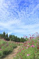 当間(あてま)高原 コスモスの花畑と道にうろこ雲 11076022898| 写真素材・ストックフォト・画像・イラスト素材|アマナイメージズ